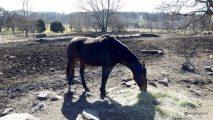 Fux häst