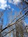 Fallet träd när man går in i skogen vid Råstasjön knakar fl
