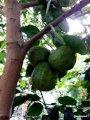 Citrus medica, Suckatcitron, Asien