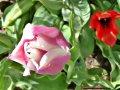 lila och röd