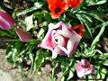 lila och rött