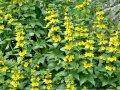 gula mycket vanliga blommor