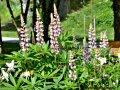 planterade blommor av hyresvärden