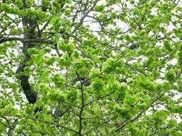 Bildresultat för träd i skir grönska